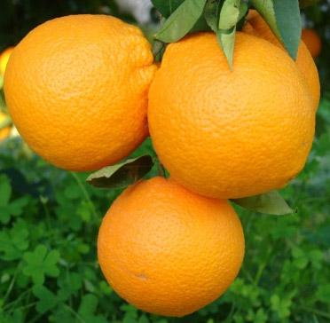 Sicilian Ribera Oranges Fioroni (Arance di Ribera Navel Fioroni)